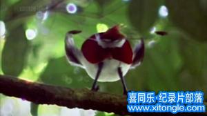 williamhill中文部落-williamhill中文从业者门户:williamhill中文部落-BBC自然世界:天堂之鸟 Natural World: Birds of Paradise高清下载